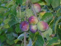 Сверкать ягоды в Parkland Хартфордшира Стоковая Фотография RF