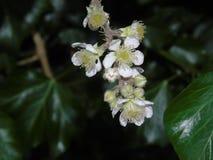 Сверкать ягоды и листья в Parkland Хартфордшира Стоковое фото RF