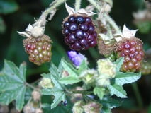 Сверкать ягоды и листья в Parkland Хартфордшира Стоковые Изображения