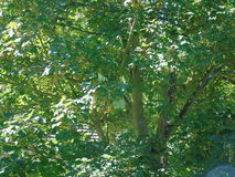 Сверкающ листья мерцающие в накаляя ветре Стоковые Изображения RF