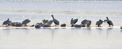 Сверкнать белые пеликаны Стоковое Фото