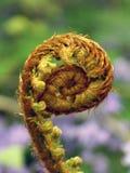 Свернутый Frond папоротника Стоковое Фото
