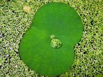 Свертывать на лист лотоса Стоковое Фото