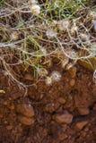 Свертывая сухой цветок от острова Ла Palma, Canaries Стоковые Изображения RF