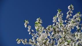 Сверхконтрастный близкий взгляд цветков вишневого дерева на предпосылке голубого неба сток-видео