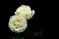 Сверхконтрастный черно-белого белой розы на черной предпосылке Стоковое Изображение RF