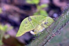 Сверчок Буша на зеленых лист Стоковые Изображения