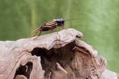 Сверчок на деревянной текстуре Стоковое Фото