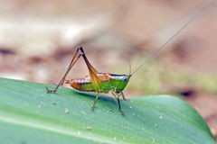 Сверчок на зеленых лист Стоковое Фото