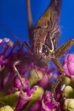 Сверчок на розовом цветке Стоковое Изображение RF