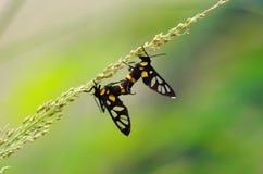 Сверло травы тигра Стоковые Фотографии RF