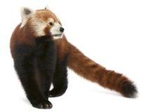 светить старой панды fulgens кота ailurus красный Стоковое фото RF