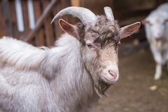 Светлая взрослая коза Стоковые Изображения