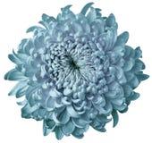 Светлая хризантема цветка бирюзы изолированная на белой предпосылке Для конструкции Более ясный фокус closeup стоковое фото rf