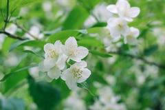 Светлое изображение красивых цветков яблони Стоковое Фото
