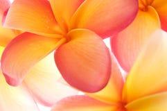 светлое тоновое изображение frangipani Стоковые Изображения