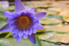 Светлые яркие пурпурные лилии воды стоковые изображения rf