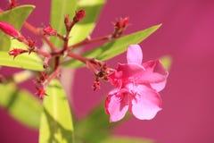 Светлый - ландшафт розового цветка олеандра более близкий стоковое фото rf