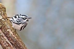 Светотеневая певчая птица Стоковые Фотографии RF