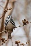 Светотеневая певчая птица Стоковое Фото
