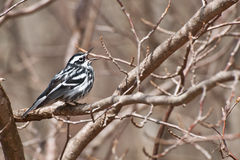 Светотеневая певчая птица Стоковые Изображения
