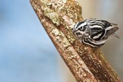 Светотеневая певчая птица Стоковое Изображение