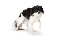 Трепетный щенок стоковое фото rf