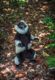 Светотеневой ruffed лемур Мадагаскара Стоковая Фотография