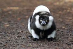 Светотеневой ruffed lemur Стоковое Фото