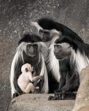 Портрет семьи обезьяны Colobus Стоковая Фотография RF