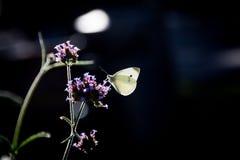 Светящая бабочка на цветке вербены Стоковая Фотография