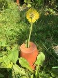 Светлая весна сада желтого зеленого цвета бака одуванчика растущая Стоковые Изображения RF