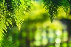 Свет вечера предпосылки природы зеленого цвета лист папоротника стоковая фотография rf