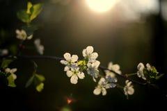 Свет вишни Стоковое Изображение RF