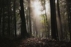 Свет в загадочном лесе с туманом стоковые фото