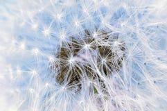 Свет - голубая текстура парашютов одуванчика Стоковое Фото