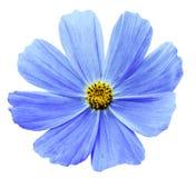 Свет - голубая предпосылка Kosmeja цветка белизна изолированная с путем клиппирования Отсутствие теней closeup Стоковая Фотография