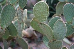 Свет - голубой кактус стоковые изображения rf