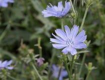 Свет - голубой цветок cichorium на луге Стоковое Изображение