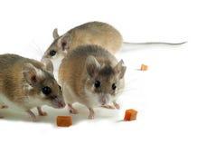 Свет-желтая колючая изолированная мышь Стоковое фото RF