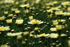 Свет - желтое vulgare dof Leucanthemum Стоковая Фотография RF