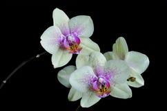 Свет - желтая орхидея на черной предпосылке стоковые фотографии rf