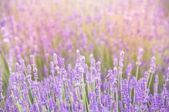 Свет захода солнца над фиолетовыми цветками лаванды Стоковая Фотография