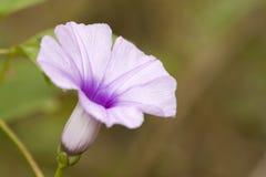 Свет и темная фиолетовая деталь конца цветка um с зеленой предпосылкой Стоковое Фото