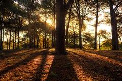Свет и тень в сосновом лесе Стоковые Изображения