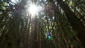 Свет лучей лесных деревьев сток-видео