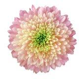 Свет - пинк - желтая хризантема цветка, цветок сада, белизна изолировал предпосылку с путем клиппирования closeup Отсутствие тене Стоковое фото RF