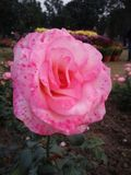 Свет - пинк покрашенный цветок Стоковые Фотографии RF