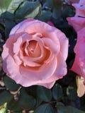 Свет - пинк Роза в солнечности стоковое изображение