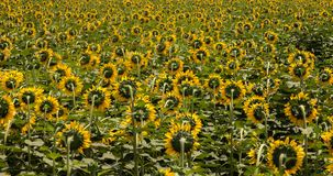 Свет поля солнцецвета полностью… стоковое изображение rf